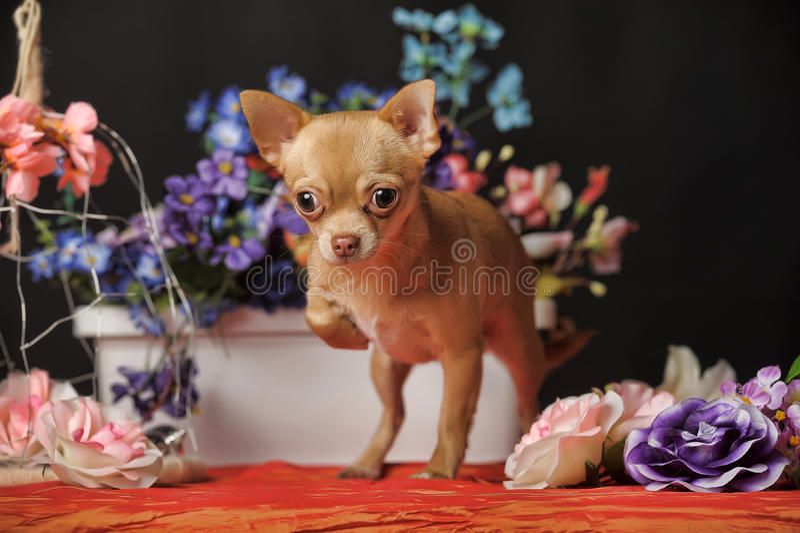 Chiwawa parmi les fleurs photographie stock