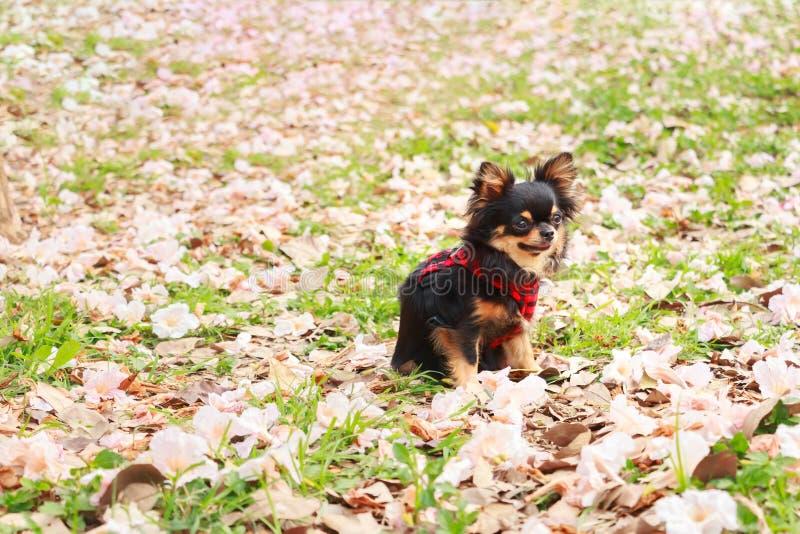 Chiwawa, petit chien photo libre de droits