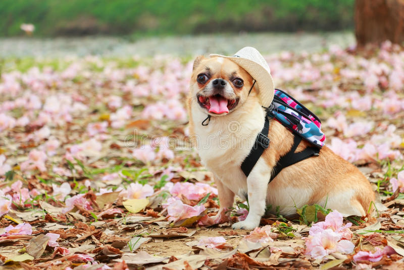 Chiwawa, petit chien image libre de droits