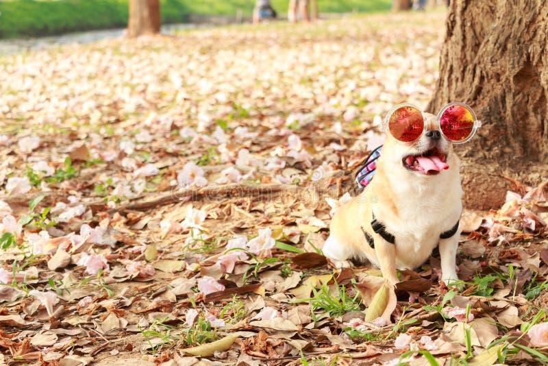 Chiwawa, petit chien image stock