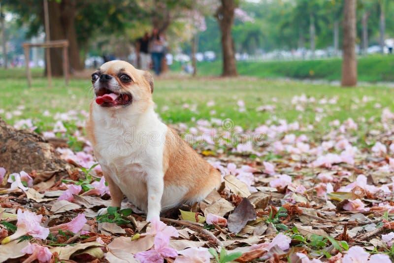 Chiwawa, petit chien photos libres de droits