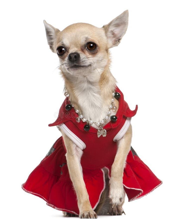 Chiwawa rectifié en robe et collier rouges image stock