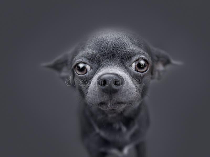 Download Chiwawa Très Drôle De Chiot Image stock - Image du doggy, oreilles: 77158895