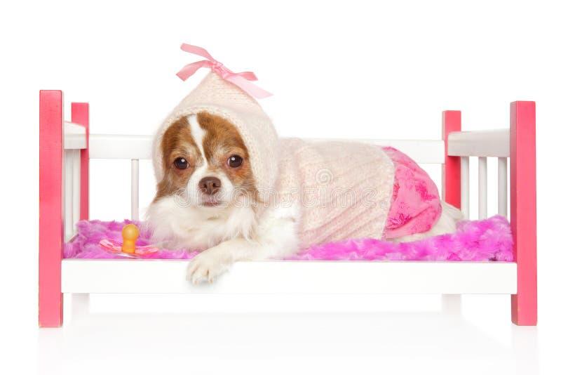 Chiwawa triste dans des vêtements de chien se trouvant sur un lit de jouet de bébé photographie stock libre de droits