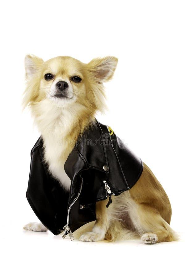 Chiwawa utilisant une jupe en cuir noire photos stock