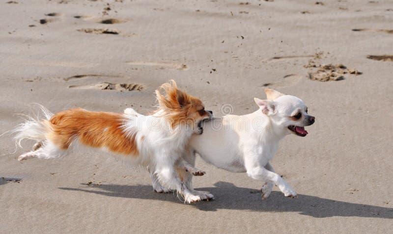 Chiwawas de combat sur la plage photos stock