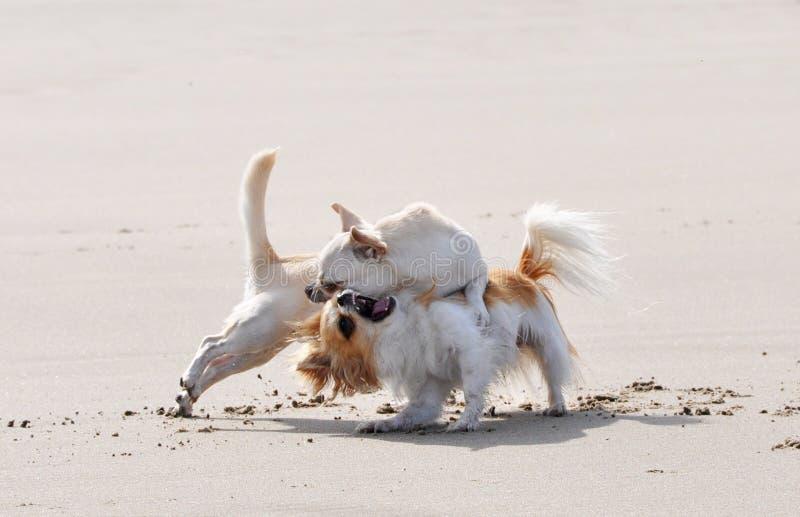 Chiwawas de combat sur la plage image stock