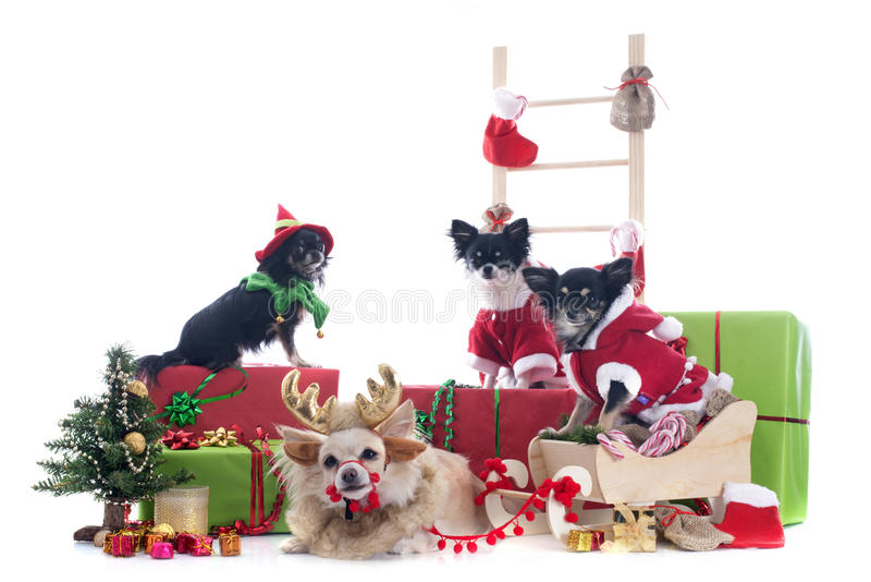 Chiwawas de Noël images stock