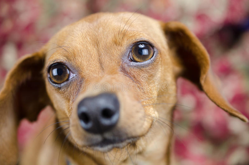 Chiweenie-Dachshund-Chihuahua lizenzfreie stockfotografie