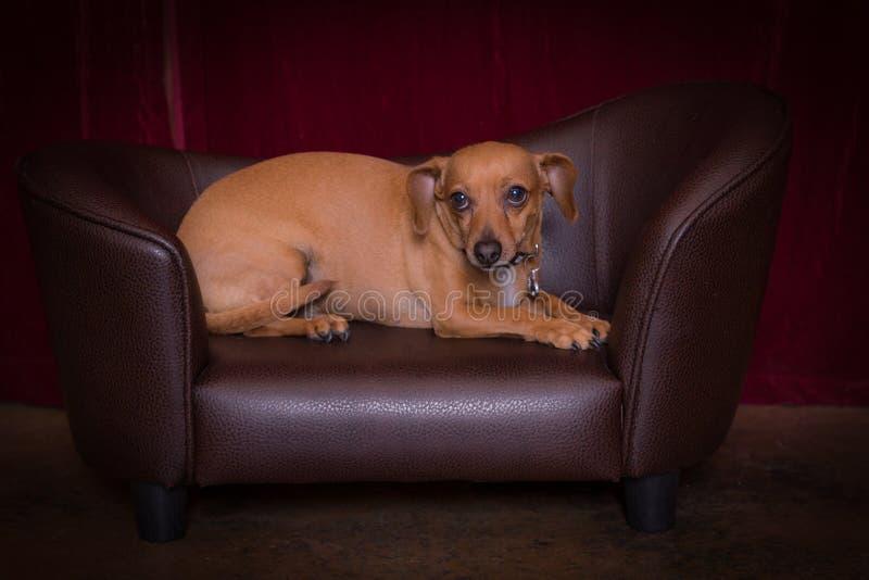Chiweenie hund fotografering för bildbyråer