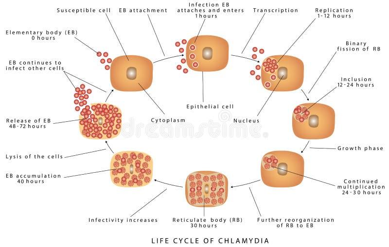 Chlamydia trachomatis ilustracji
