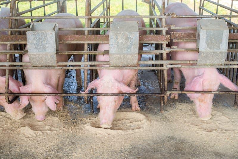 Chlewnie przy gospodarstwem rolnym Świniowaty przemysł Świnia uprawia ziemię spotykać rosnącego popyt dla mięsa w Thailand i zawo obrazy stock
