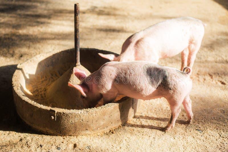 Chlewnie przy gospodarstwem rolnym Świniowaty przemysł Świnia uprawia ziemię spotykać rosnącego popyt dla mięsa w Thailand i zawo zdjęcia royalty free