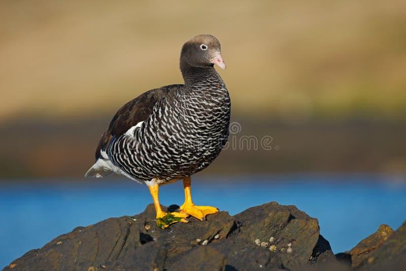 Chloephaga hybrida,海带鹅,是鸭子,鹅的成员 可以被找到在南美的南部;在Patagon 免版税库存照片