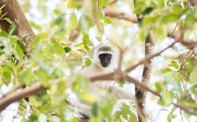 Chlorocebus för Vervet apa pygerythrus i träd fotografering för bildbyråer