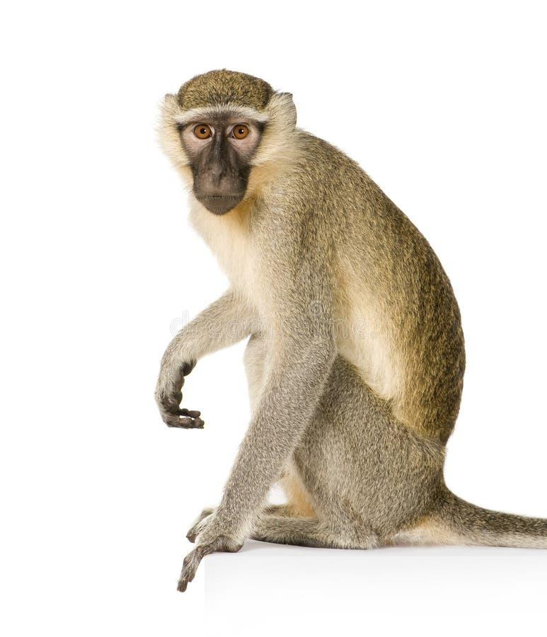 chlorocebus małpa pygerythrus vervet fotografia royalty free