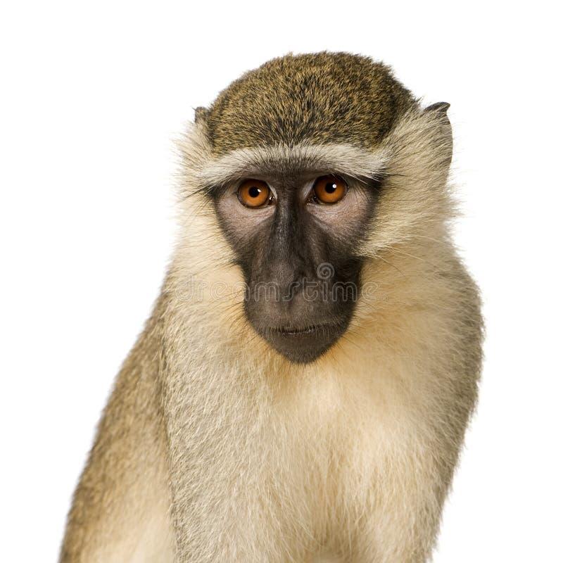 chlorocebus małpa pygerythrus vervet zdjęcie stock