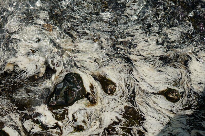 Chloroflexus-aurantiacus bacteriam oder weiße Pondweed- und thermophilealgen leben unter seichtem Heißwasser in der natürlichen h stockfotos