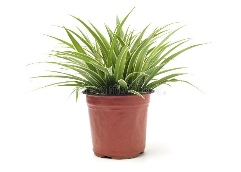 Chlorophytum стоковые фото