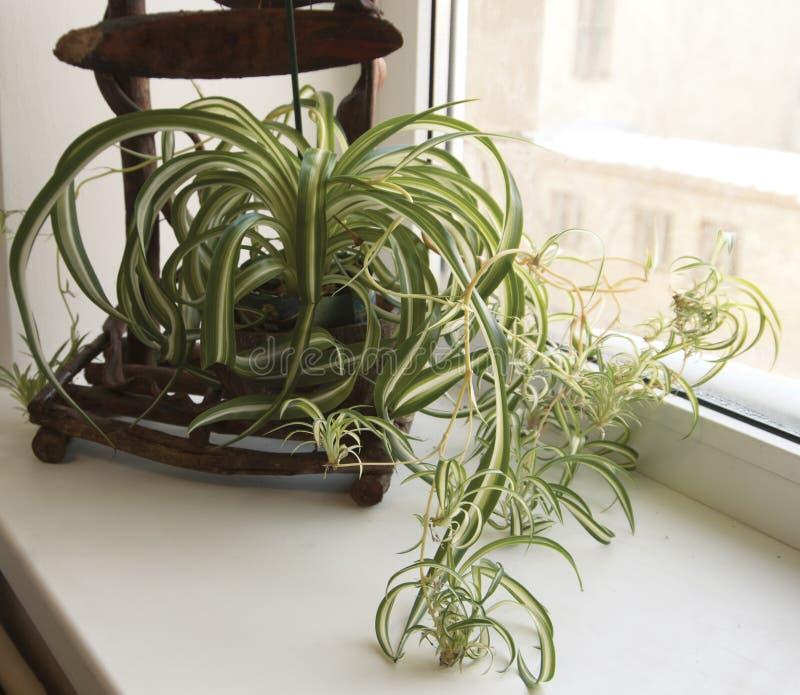 Chlorophytum (吊兰) 库存照片