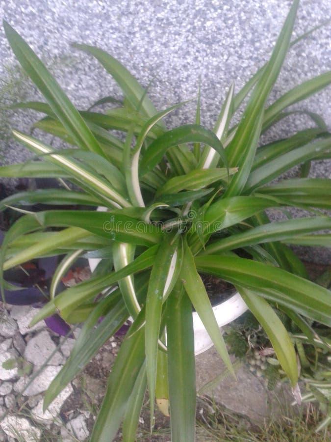 Chlorophytum στοκ εικόνα
