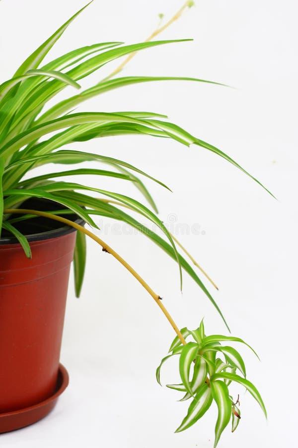 Download Chlorophytum stock photo. Image of flower, botany, design - 11333040