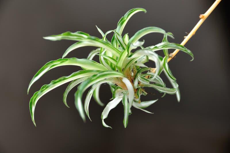 Chlorophytum royalty-vrije stock afbeeldingen
