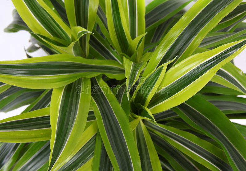 Chlorophytum zdjęcie royalty free