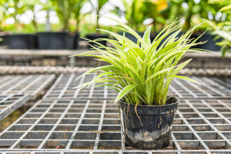 Chlorophytum comosum (吊兰)在一个罐待售 库存照片
