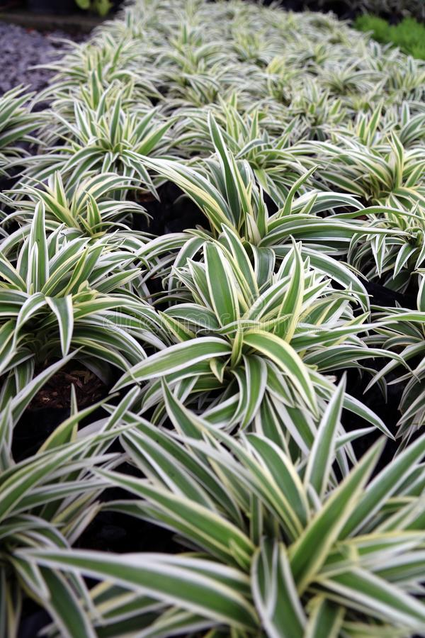 Chlorophytum comosum or Spider plant or Airplane plant or Spider ivy or Ribbon plant. royalty free stock photo