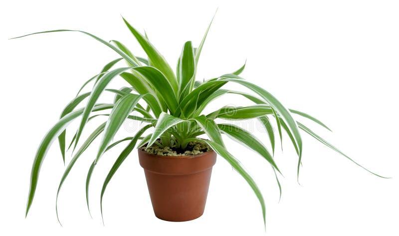 Chlorophytum comosumvariegatum arkivfoto