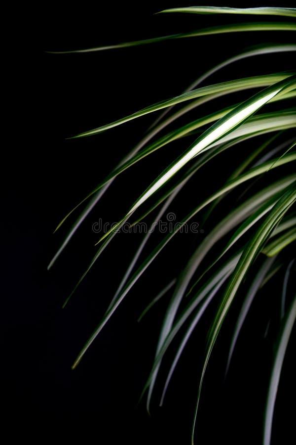 Chlorophytum med ljust rika gröna sidor på en mörk bakgrund Långa sidor med ett vitt band arkivbild