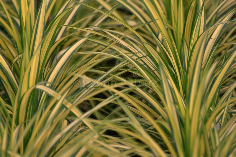 Chlorophytum roślina zdjęcia stock