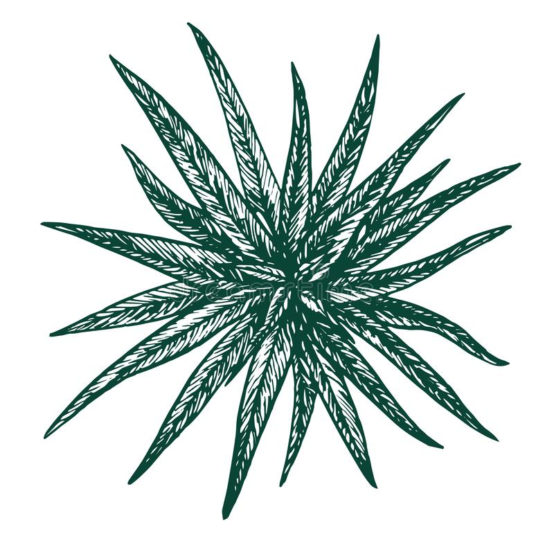 Chlorophytum roślina, woodcut stylu projekt ilustracji