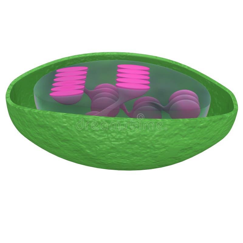 chloroplaste illustration de vecteur