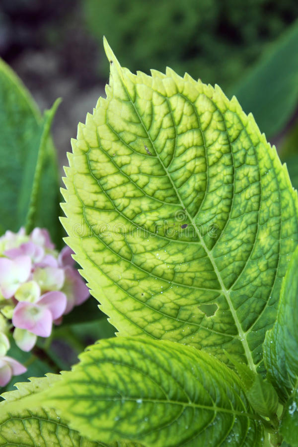 Chlorosis on the plants. Chlorosis on the hydrangea plants, disease which results absence iron in the garden soil royalty free stock images