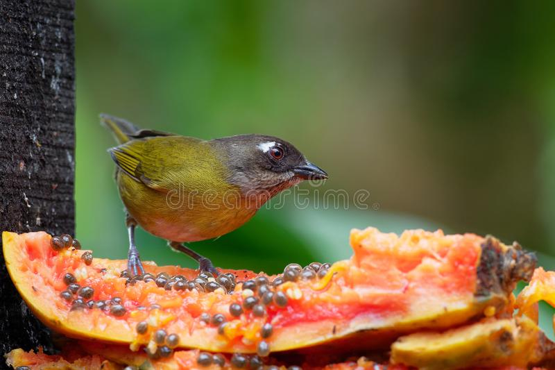 Chlorospingus flavopectus - Common Bush-tanager, common chlorospingus, is a small passerine bird, resident breeder in the royalty free stock image