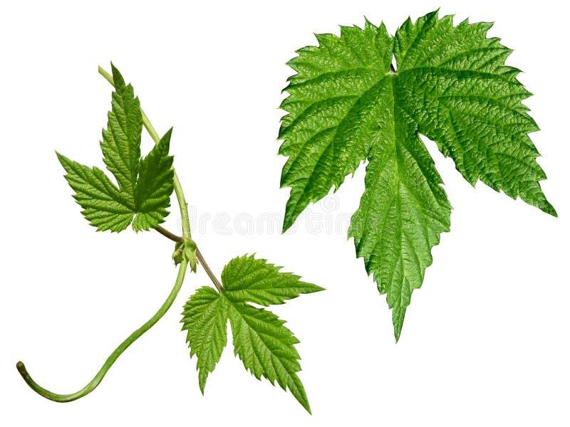 chmiel leafs set obrazy stock