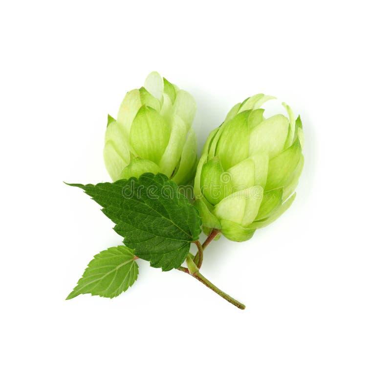 Chmiel rośliny odizolowywać na bielu Odgórny widok fotografia stock