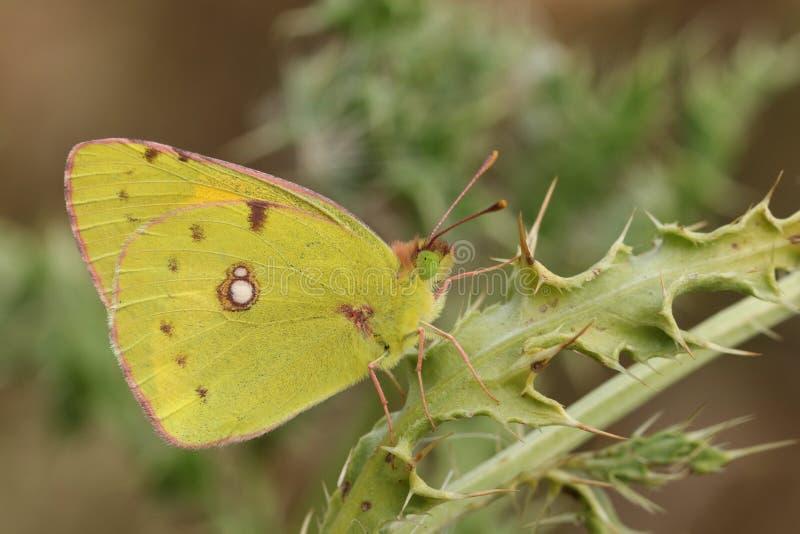 Chmurniejący żółty motyl & x28; Colias croceus& x29; fotografia royalty free