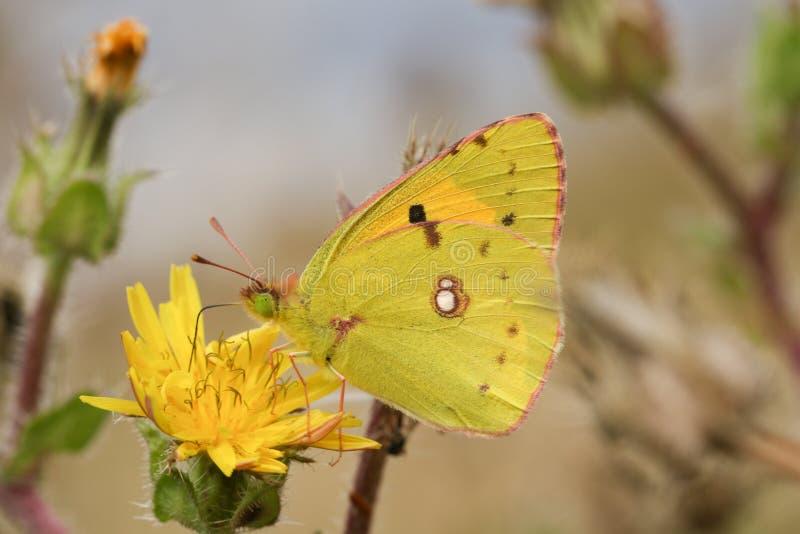 Chmurniejący żółty motyl & x28; Colias croceus& x29; obrazy royalty free