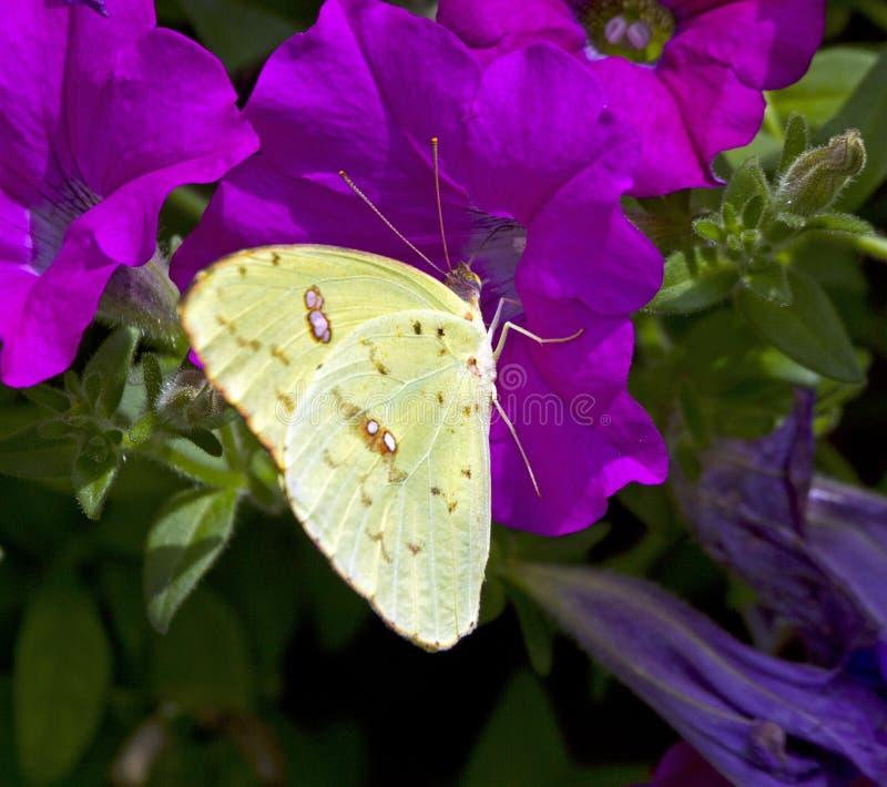 Chmurniejący Siarczany Żółty motyl Na petuni obraz stock