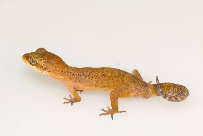 Chmurniejący zmielony gekon, Cyrtodactylus nebulosus Visakhapatnam obraz royalty free