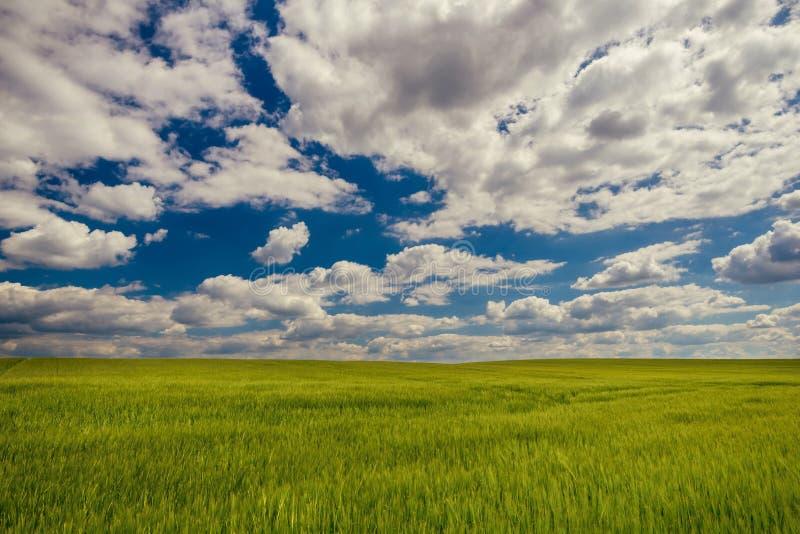 Chmurny niebieskie niebo nad zielonym zbożowym polem zdjęcia stock