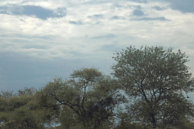 CHMURNY niebo NAD WYSOKIMI drzewami W AFRYKA obraz royalty free