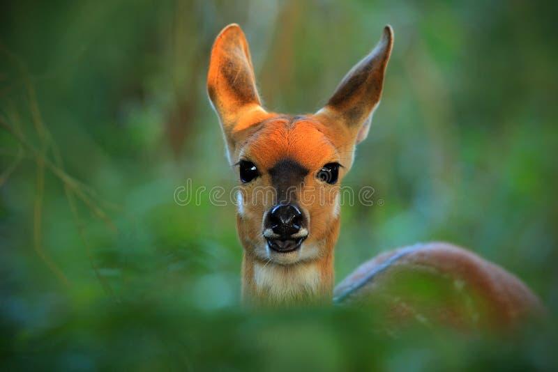 Chobe条纹羚羊,非洲羚羊类scriptttus ornatus,羚羊,动物在自然栖所,比克细节画象在绿色叶子的 图库摄影