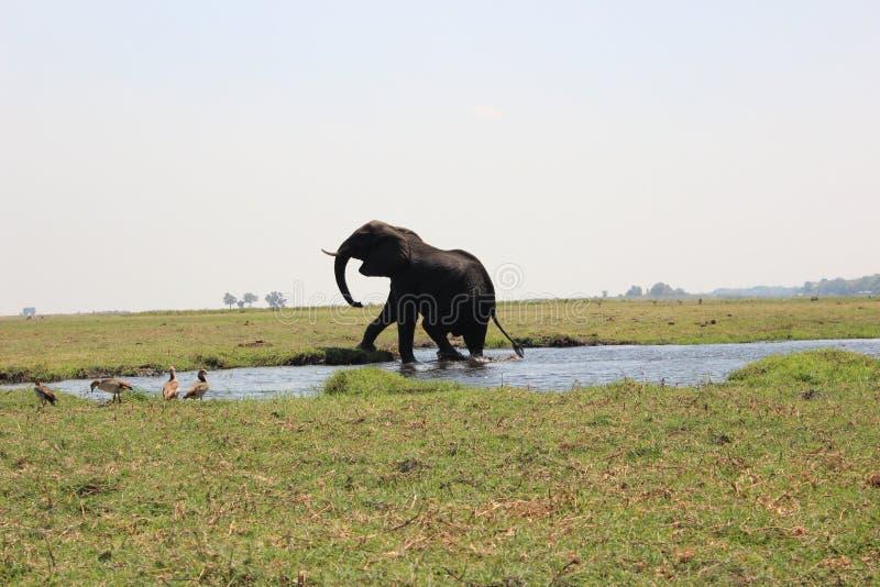 从Chobe河走出去的大象公牛 库存图片