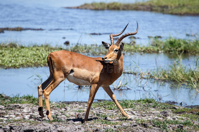 Chobe河,博茨瓦纳,非洲 免版税库存照片