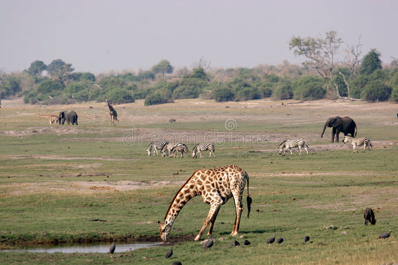 Chobe Riverfront landscape. Teaming with wildlife stock photo