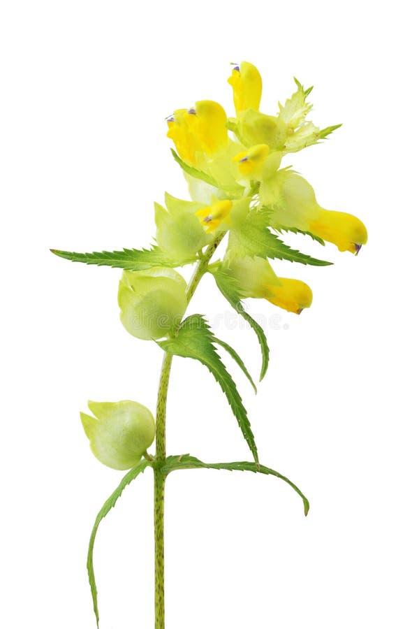 Chocalho amarelo ou Cockscomb foto de stock royalty free